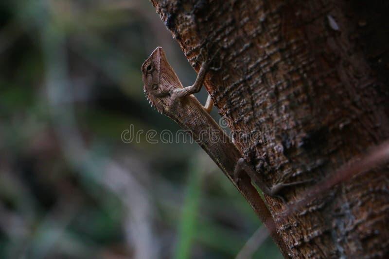 Thailändsk kameleont i den norr öst av Thailand royaltyfri foto