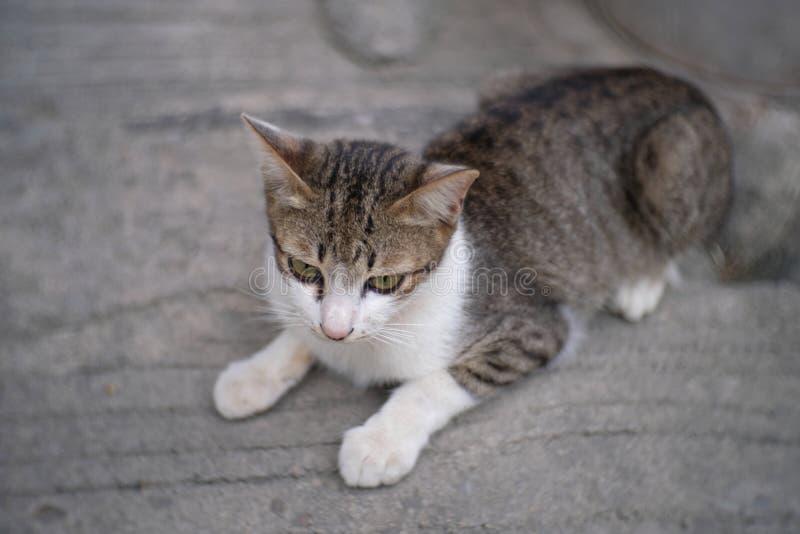 Thailändsk katt på den gråa betongen royaltyfria foton
