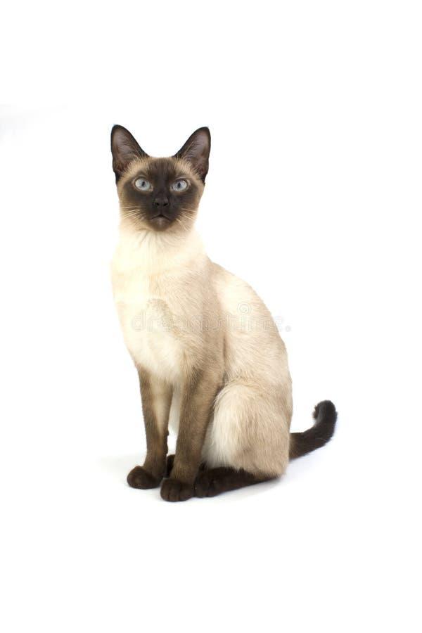 Thailändsk katt, traditionell siamese katt på vit royaltyfria bilder