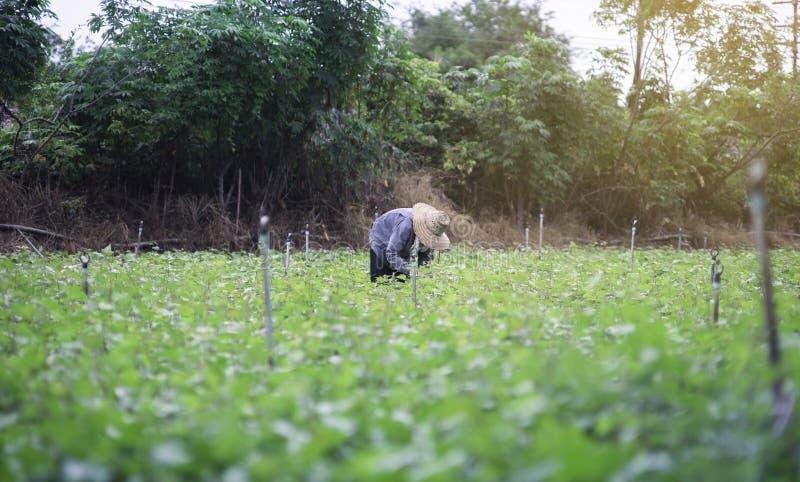 Thailändsk lokal bonde som skördar en sötpotatis (sötpotatisar) i ett fält, filtrerad bild, selektiv fokus, tillfogad ljus effekt arkivbild