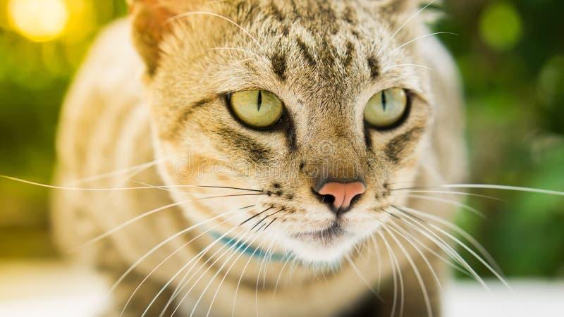 Thailändsk lokal katt royaltyfri foto