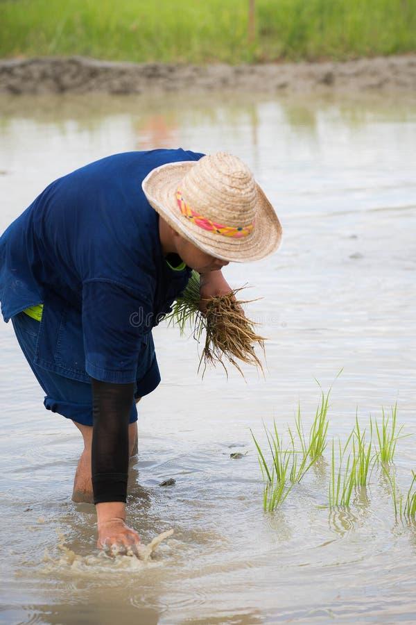 Thailändsk man som planterar ris fotografering för bildbyråer