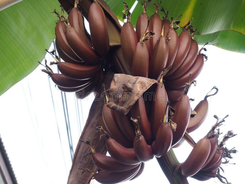 Thailändsk röd banan arkivfoton