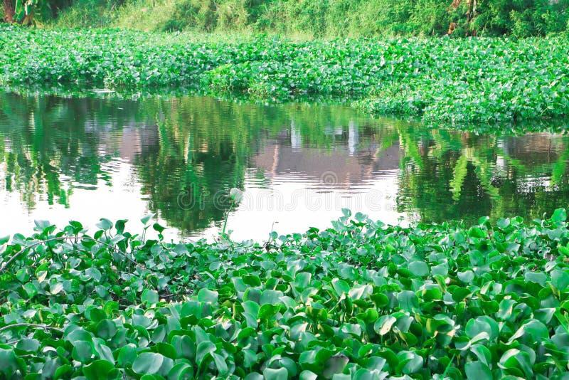 Thailändsk vattenhyacint arkivfoton