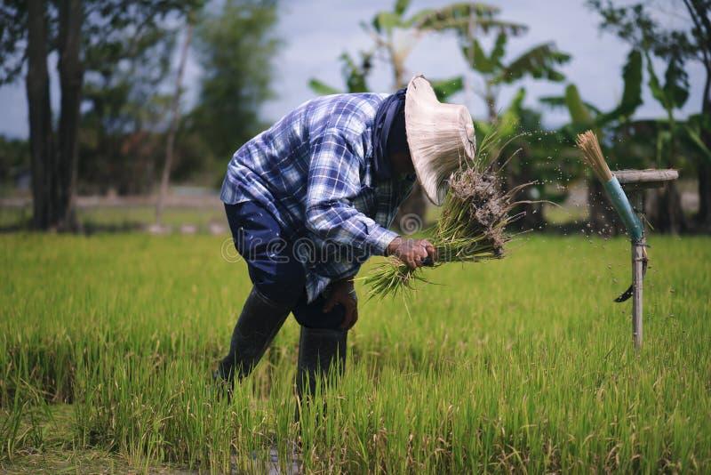 Thailändska bönder är snärta och sparka risplantor och binda dem tillsammans för att plantera arkivfoton
