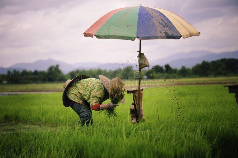 Thailändska bönder är snärta och sparka risplantor och binda dem tillsammans för att plantera arkivbild