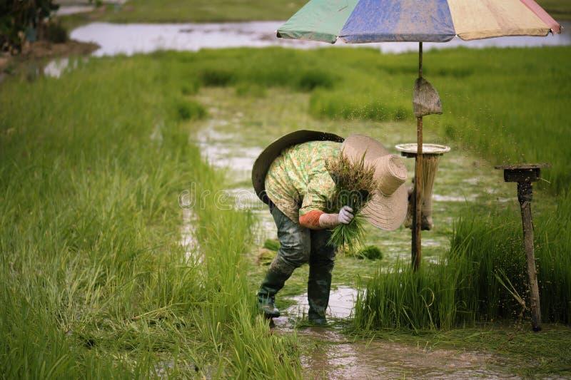Thailändska bönder är snärta och sparka risplantor och binda dem tillsammans för att plantera royaltyfri foto