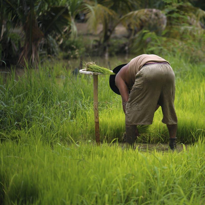 Thailändska bönder är snärta och sparka risplantor och binda dem tillsammans för att plantera royaltyfri fotografi