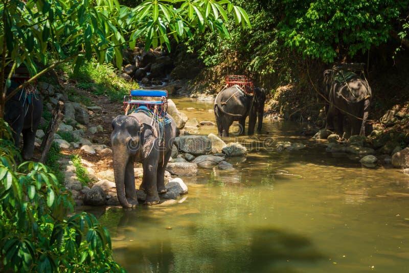 Thailändska elefanter som vilar på flodstrand i djungeln arkivbild