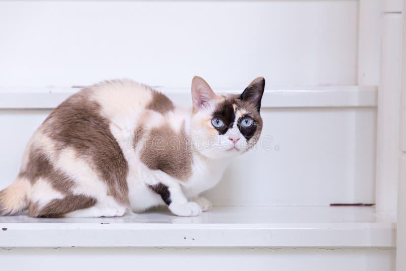 Thailändska kattblått synade att ligga på hustrappa ser kameran royaltyfria bilder