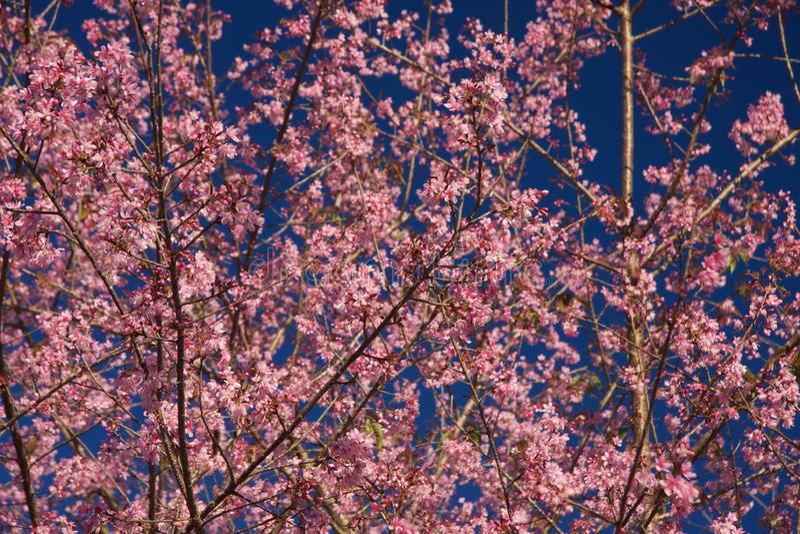 Thailändska Sakura royaltyfri bild