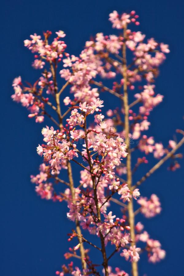 Thailändska Sakura fotografering för bildbyråer