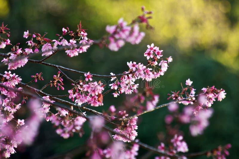 Thailändska Sakura arkivfoto
