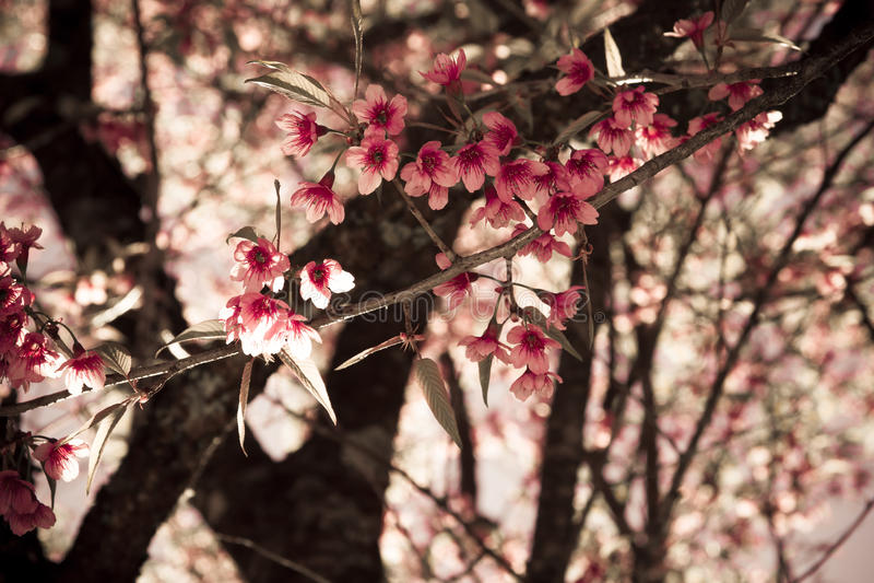 Thailändska sakura i kall säsong royaltyfria bilder