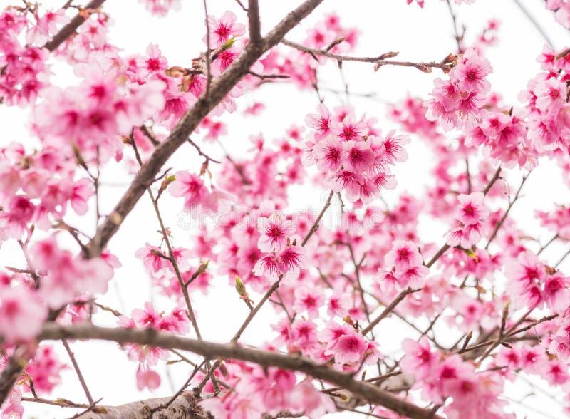 Thailändska Sakura i vinter på trädet, prunuscerasoides royaltyfri foto