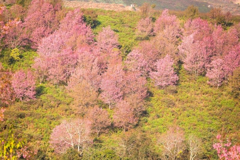 Thailändska sakura som blommar i vinter på berget för Phu lomlo, Phitsanul arkivbild