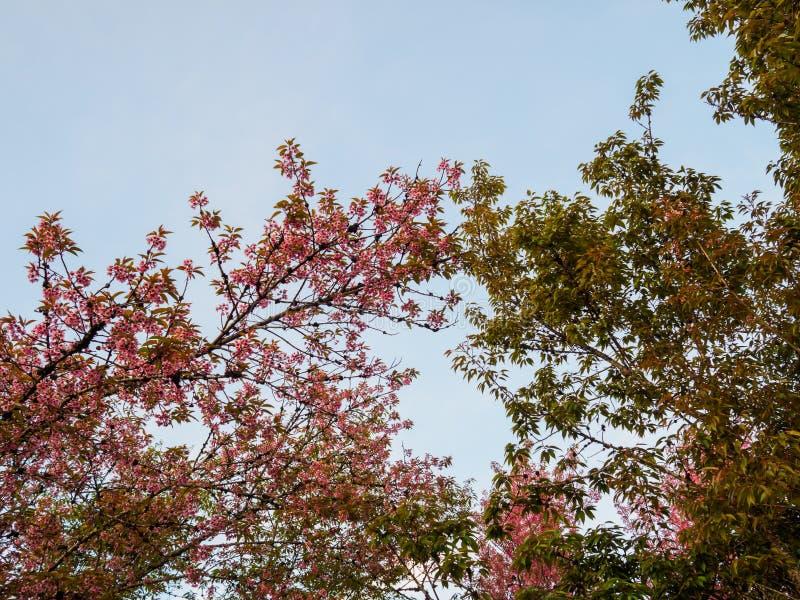 Thailändska sakura träd och blå himmel, för bakgrundstextur arkivfoton