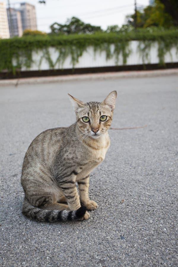 Thailändskt sammanträde för inhemsk katt på asfaltvägen royaltyfri foto