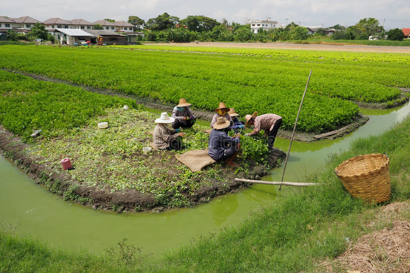 Thai gardener working to keeping celery agricultural planting stock image