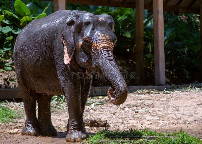 Thail?ndsk elefant med skogbakgrunden Thail?ndska elefanter klassificeras som indiska elefanter royaltyfri bild