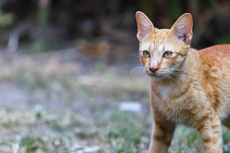 Thail?ndsk katt med gula ?gon royaltyfri foto
