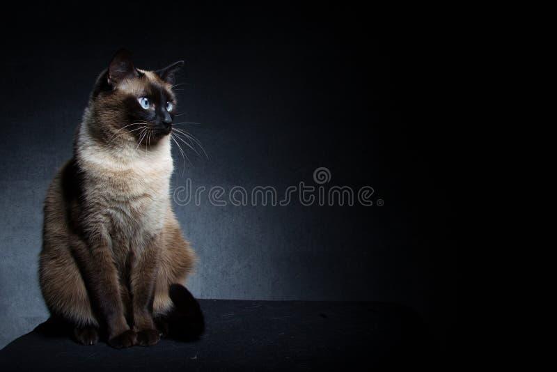 Thail?ndsk siamese katt royaltyfria bilder