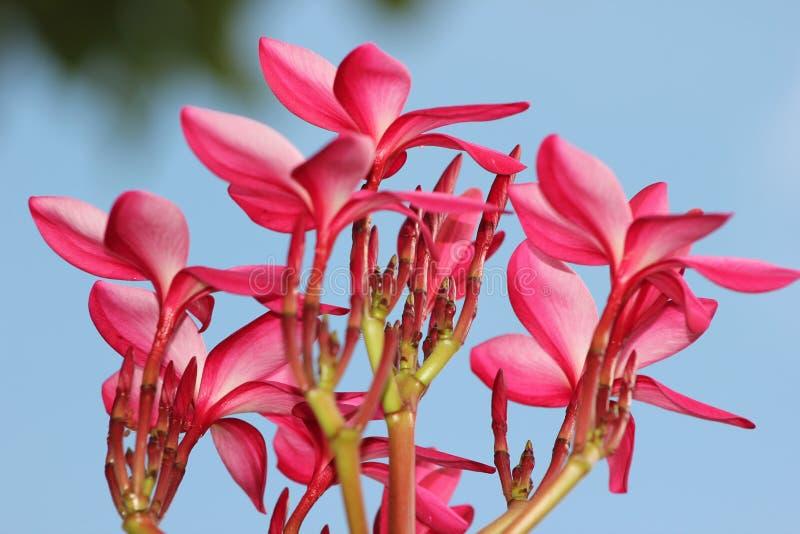 Thailand-Blume lizenzfreie stockbilder