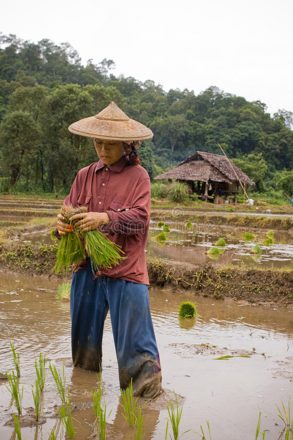 Thailand, Burmese migrant woman working in the rice field. MAE HONG SON , NORTHEM THAILAND - JULY 20, 2005 : July 2005, In the province of Mae Hong Son, north stock images