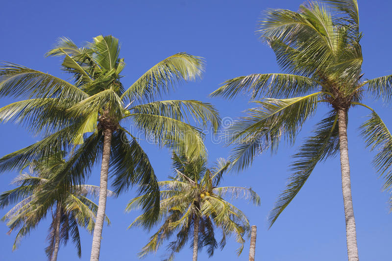 Thailand: Coconut palms. Coconut palms waving in the wind stock photography