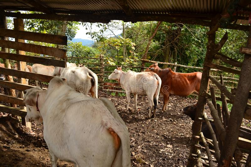 Thailand countryside, group of domestic cows royalty free stock images