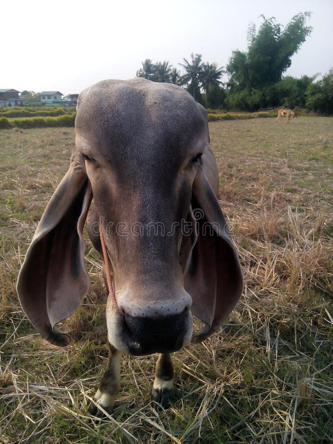 Thailand cow. Animal pet agriculture industry cornfield manufacture food cow Asia Thailand countryside beef cattle royalty free stock photo