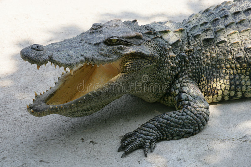 Thailand crocodile royalty free stock photography