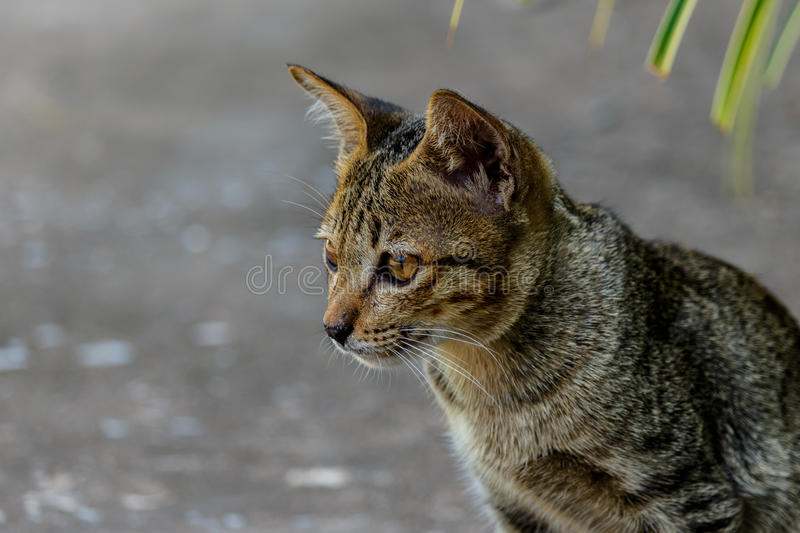 Download Thailand Cute Cat Resting Habits Of Cute Pets. Cat Breeds Thaila Stock Image - Image of tail, background: 83719207