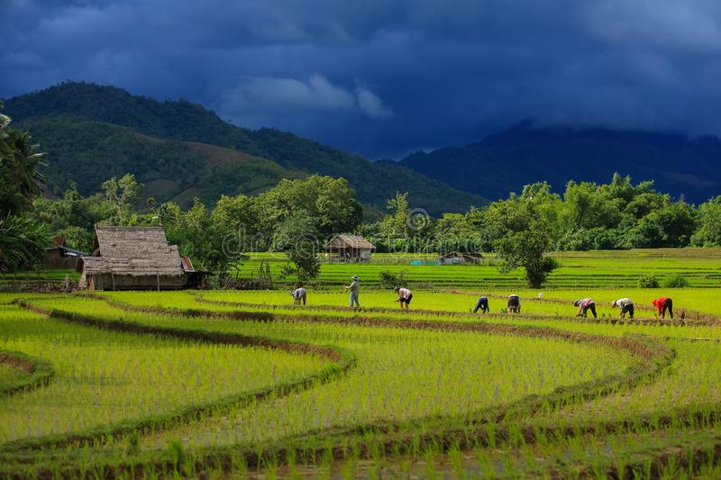 Thailand farmers rice planting working on the field. stock image