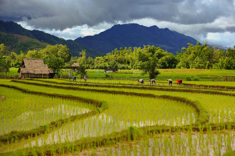 Thailand farmers rice planting working on the field. holding rice in hand rain season more cloud background mountain royalty free stock photography