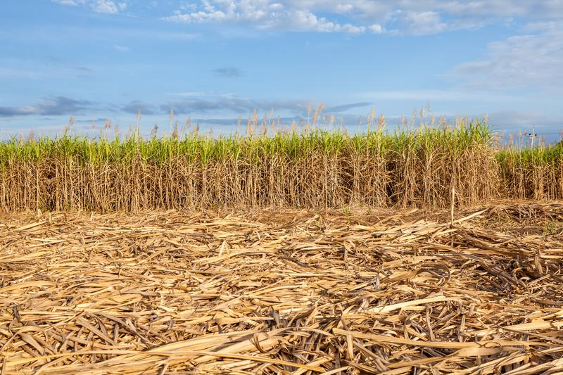 Field with cane sugar. In thailand this field is full of cane sugar stock image