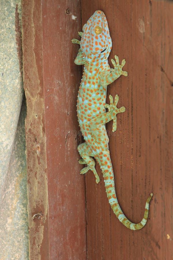 Thailand gecko på väggen arkivfoto