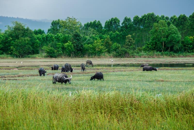 Thailand inhemsk vattenbuffel, 2015, jordbruks- fält, jordbruk fotografering för bildbyråer
