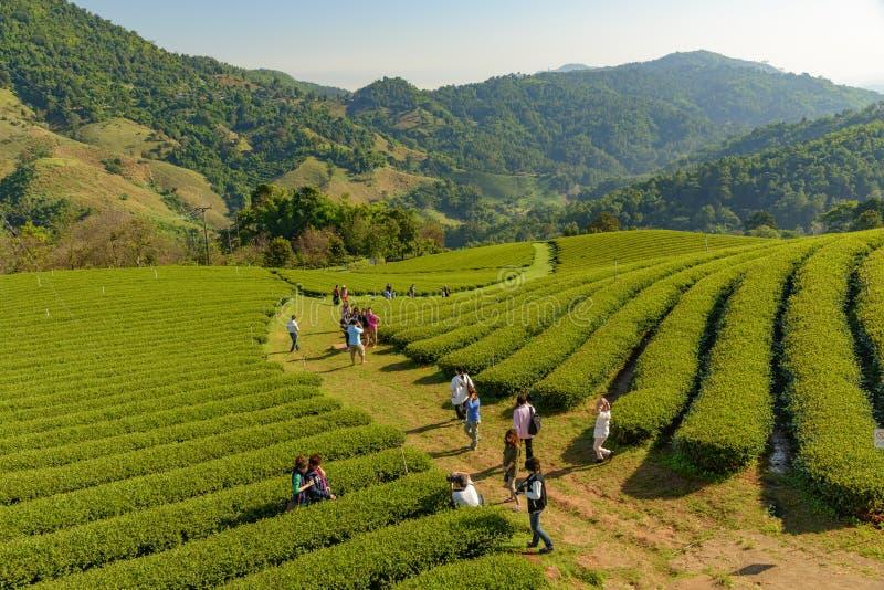 Thailand - Januari 22, 2017: Turister tycker om sighten på kolonin för grönt te för terrassen i solskendag, Chiangrai arkivfoto
