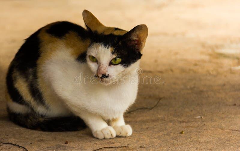 Thailand-Katze wurde auf dem Zementboden geduckt lizenzfreies stockbild