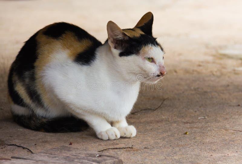 Thailand-Katze wurde auf dem Zementboden geduckt stockfotografie