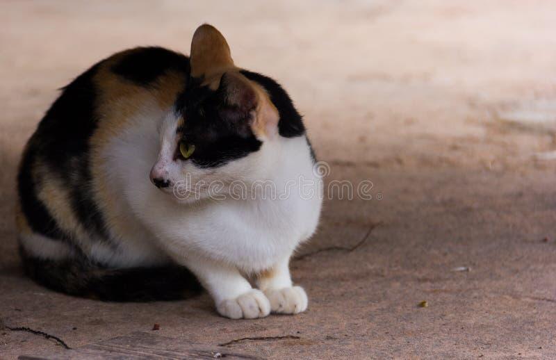 Thailand-Katze wurde auf dem Zementboden geduckt stockbild
