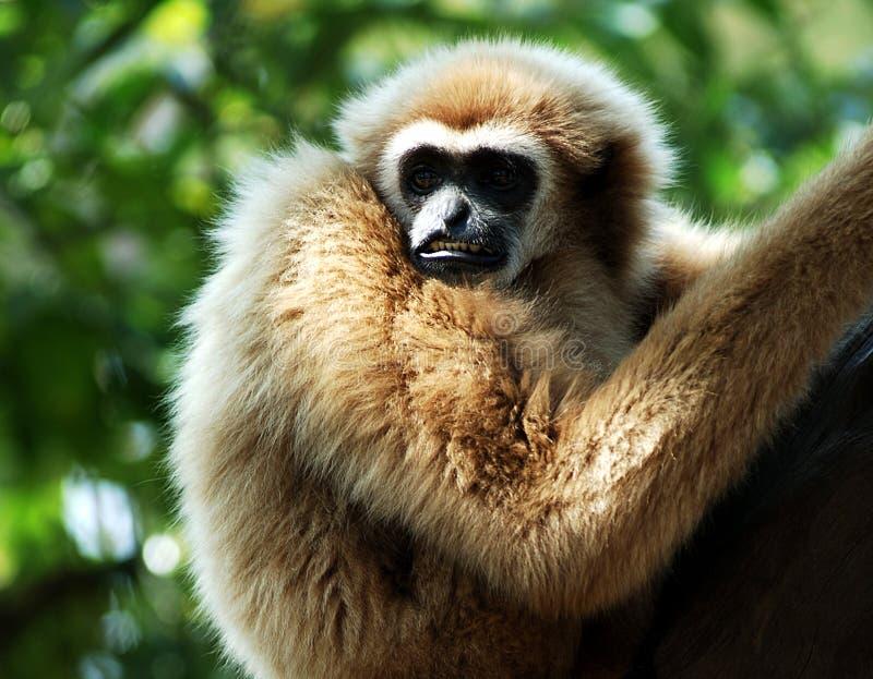 Thailand, Koh Samui: Monkey stock images