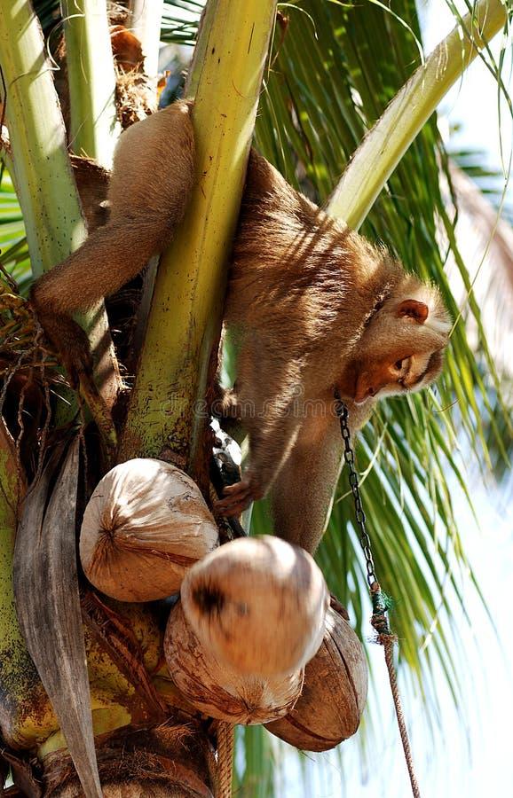 Thailand, Koh Samui: Monkey harvesting coconut royalty free stock photography