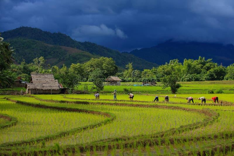 Thailand-Landwirtreis, der das Arbeiten an dem Feld pflanzt stockbild