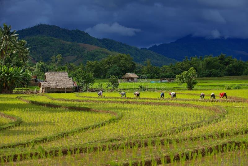 Thailand-Landwirtreis, der das Arbeiten an dem Feld pflanzt stockfotos