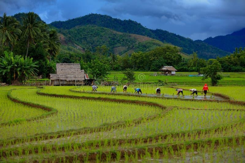 Thailand-Landwirtreis, der das Arbeiten an dem Feld pflanzt lizenzfreie stockfotos