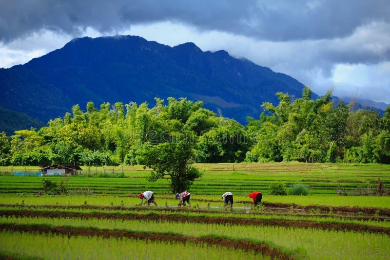 Thailand-Landwirtreis, der das Arbeiten an dem Feld pflanzt stockfotografie