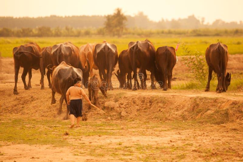 Thailand lantlig traditionell plats, thailändsk bondepojke som tillbaka samlas bufflar från risfältfält till den djura ladugården royaltyfri bild