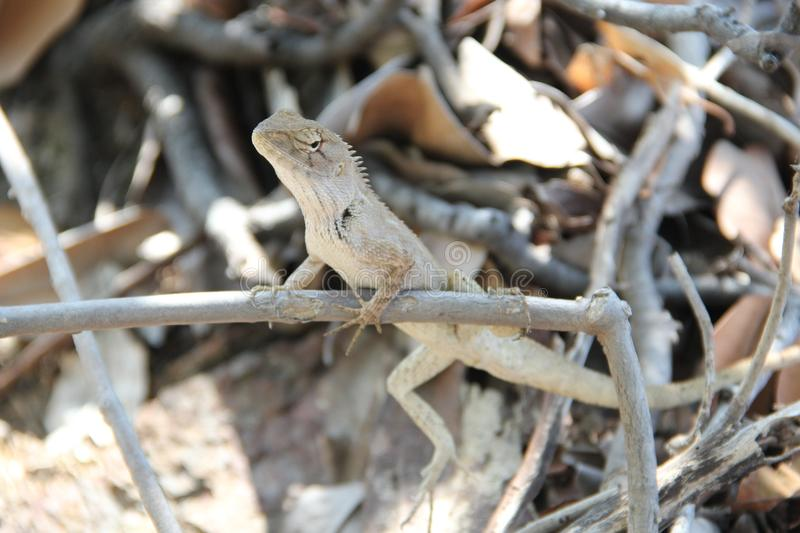 Thailand 1. Lizard sits on the branches royalty free stock photo